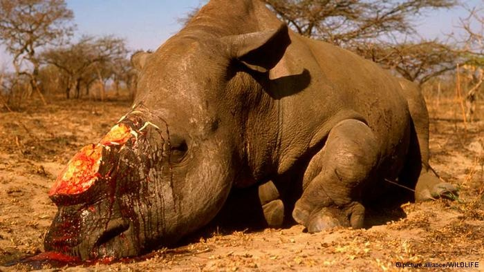 Un rhinocéros abattu et dépouillé de ses cornes