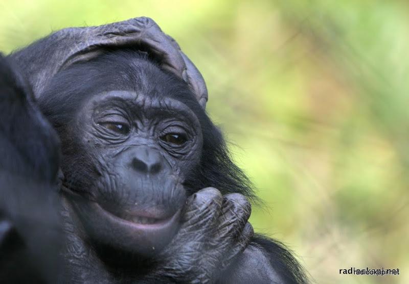 Bonobo captif au sanctuaire Loyola Ya Bonobo, Kinshasa, 2003.